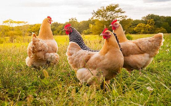 Volailles et animaux de la ferme