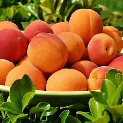Desserts ensoleillés à l'abricot, aux pistaches et au romarin