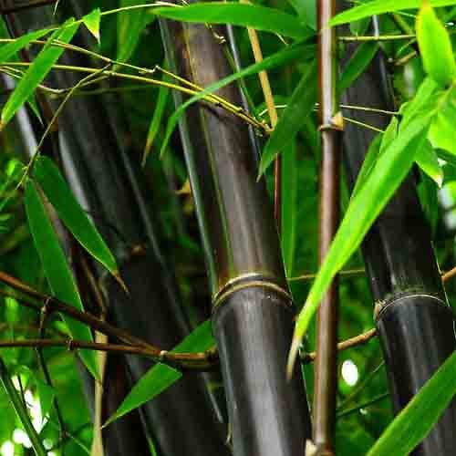 MAGIC BAMBOO