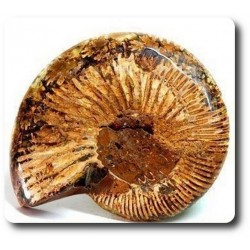 209.70 cts AMMONITE FOSSIL Australie