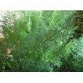 Fenouil BIO - plante en vrac - herboristerie du Dr. SAMMUT