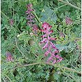 Fumeterre BIO - plante en vrac - herboristerie du Dr. SAMMUT