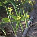 Garance des teinturiers BIO - plante en vrac - herboristerie du Dr. SAMMUT