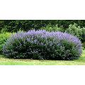 Gattilier BIO - plante en vrac - herboristerie du Dr. SAMMUT