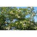 Acacia BIO - plante en vrac - herboristerie du Dr. SAMMUT