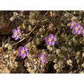 Arenaria rubra (sabline rouge) BIO - plante en vrac - herboristerie du Dr. SAMMUT