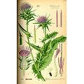 Bardane racine BIO - plante en vrac - herboristerie du Dr. SAMMUT