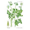 Cerfeuil BIO - plante en vrac - herboristerie du Dr. SAMMUT