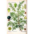 Genévrier BIO - plante en vrac - herboristerie du Dr. SAMMUT