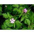 Géranium Robert BIO - plante en vrac - herboristerie du Dr. SAMMUT