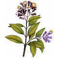 Giroflier BIO - plante en vrac - herboristerie du Dr. SAMMUT