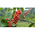 Guarana BIO - plante en vrac - herboristerie du Dr. SAMMUT