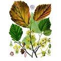 Hamamélis Feuille BIO - plante en vrac - herboristerie du Dr. SAMMUT