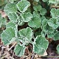 Marrube Blanc BIO - plante en vrac - herboristerie du Dr. SAMMUT