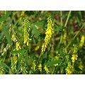 Mélilot Jaune BIO - plante en vrac - herboristerie du Dr. SAMMUT