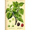 Mûrier BIO - plante en vrac - herboristerie du Dr. SAMMUT