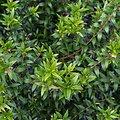 Myrte BIO - plante en vrac - herboristerie du Dr. SAMMUT