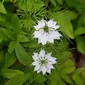 Nigelle (graine) BIO - plante en vrac - herboristerie du Dr. SAMMUT