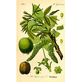 Noyer BIO - plante en vrac - herboristerie du Dr. SAMMUT