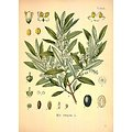 Olivier BIO - plante en vrac - herboristerie du Dr. SAMMUT