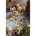 Psyllium Noir BIO - plante en vrac - herboristerie du Dr. SAMMUT