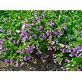 Pulmonaire BIO - plante en vrac - herboristerie du Dr. SAMMUT