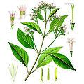 Quinquina rouge BIO - plante en vrac - herboristerie du Dr. SAMMUT