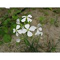 Radis Noir BIO - plante en vrac - herboristerie du Dr. SAMMUT