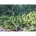 Renouée des oiseaux BIO - plante en vrac - herboristerie du Dr. SAMMUT