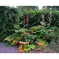 Rhubarbe BIO - plante en vrac - herboristerie du Dr. SAMMUT