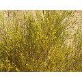 Rooibos BIO - plante en vrac - herboristerie du Dr. SAMMUT