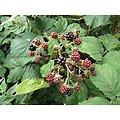 Ronce BIO - plante en vrac - herboristerie du Dr. SAMMUT
