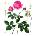 Rose Rouge BIO - plante en vrac - herboristerie du Dr. SAMMUT