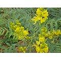 Séné (feuille) BIO - plante en vrac - herboristerie du Dr. SAMMUT