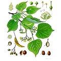 Tilleul du Roussillon aubier BIO - plante en vrac - herboristerie du Dr. SAMMUT