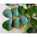 Campêche BIO - plante en vrac - herboristerie du Dr. SAMMUT