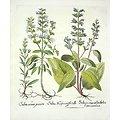 Graines de chia BIO - plante en vrac - herboristerie du Dr. SAMMUT