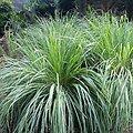 Citronnelle BIO - plante en vrac - herboristerie du Dr. SAMMUT