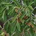 Combretum BIO - plante en vrac - herboristerie du Dr. SAMMUT