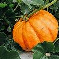 Graines de courge BIO - plante en vrac - herboristerie du Dr. SAMMUT
