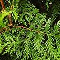 Cyprès rameau BIO - plante en vrac - herboristerie du Dr. SAMMUT