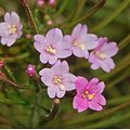 Epilobe parviflorum BIO - plante en vrac - herboristerie du Dr. SAMMUT