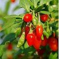 Goji BIO - plante en vrac - herboristerie du Dr. SAMMUT
