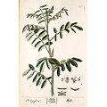 Henné noir BIO - plante en vrac - herboristerie du Dr. SAMMUT
