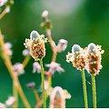 Ispaghul BIO - plante en vrac - herboristerie du Dr. SAMMUT