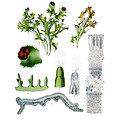 Lichen d'Islande BIO - plante en vrac - herboristerie du Dr. SAMMUT