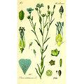 Graines de lin BIO - plante en vrac - herboristerie du Dr. SAMMUT