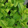 Menthe nanah BIO - plante en vrac - herboristerie du Dr. SAMMUT