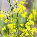 Moutarde jaune BIO - plante en vrac - herboristerie du Dr. SAMMUT