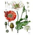 Pavot BIO - plante en vrac - herboristerie du Dr. SAMMUT